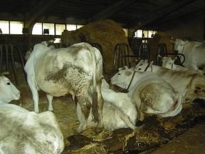 Mucche 1