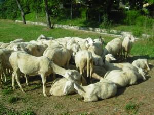 le pecore