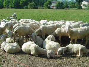 le pecore1